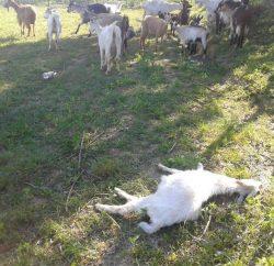Cazin - koze